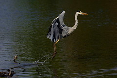 DSC00188 - Grey Heron (steve R J) Tags: heron birds forest grey flight explore waters british epping connaught