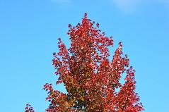 Autumn Colours (ngawangchodron) Tags: canada bc victoria vancouverisland f25 saanich victoriagridproject sat12oct