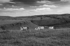 Limestone Scar (Graham Hodgetts) Tags: england sheep yorkshire places limestone fujifilm clapham fujinon yorkshiredales crummackdale limestonepavement xe1 moughtonscars britnatparks 1855mmxf