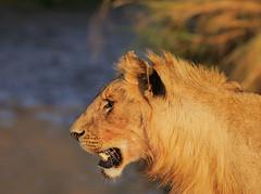 The Golden Boy? (Rainbirder) Tags: kenya pantheraleoleo rainbirder africanlionmaasaimara