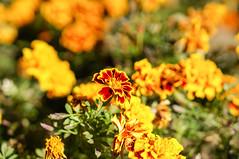 DSC02575 (Z!SL) Tags: flowers nature dof bokeh depthoffield bokehwhores bokehwhore sonyphotographing minoltaemount sel50f18 nex5r