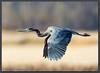 Great Blue Heron (kootenaynaturephotos.com) Tags: bird heron birds bc greatblueheron ducklake ardeaherodias flickrsfinestimages1 flickrsfinestimages2 flickrsfinestimages3 inspiringcreativeminds