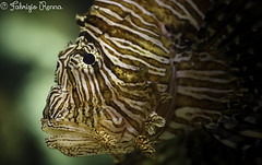Red Lionfish (RennaFoto) Tags: red fish macro coral canon bay shark cobra unitedstates lasvegas o nevada 100mm fisch reef lionfish leone man