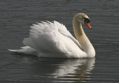 "Mute Swan • <a style=""font-size:0.8em;"" href=""https://www.flickr.com/photos/30837261@N07/10723183883/"" target=""_blank"">View on Flickr</a>"