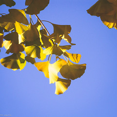 Hello November. ( wei yuet) Tags: blue autumn sky japan tokyo golden squareformat   ginko 2011  g9