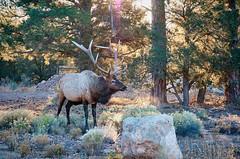Caribou (ChrisN02) Tags: trees wild arizona forest reindeer mammal grandcanyon az deer antlers caribou pinetrees grandcanyonnationalpark wilddeer tusayan rangifertarandus southrimgrandcanyon