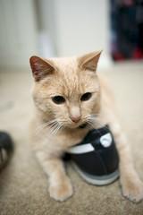 D60_2979 (stephenkirsch) Tags: orange cute cat shoe big eyes nikon play oliver tabby 28mm attack kitty puma afs d600 f18g