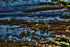 Twitter (David K. Edwards) Tags: seaweed birds weird highway1 process seashore herons seabirds topaz tomalesbay chromaticaberration orsomething whitebirds twittering adjust5 chromaticabomination
