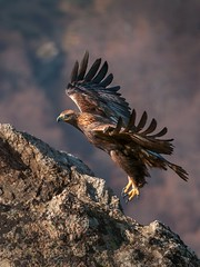Golden Eagle flight (Mike Ashton) Tags: bird nikon beak feather bulgaria d300 vr200400