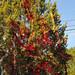 Trees_of_Loop_360_2013_261