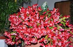Schlumbergera - Weihnachtskaktus (christoph `s world) Tags: christmas red cactus rot weihnachten christmascactus kaktus schlumbergera weihnachtskaktus