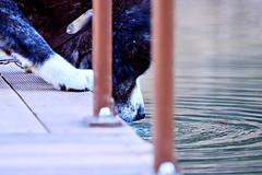 Want Water! /  (Dakiny) Tags: park winter dog animal animals japan mammal photo nikon december photograph yokohama tamron kanagawa   akita   taro     fujigaoka  12  2013 akitadog   kanagawaprefecture a005   petanimal japaneseakita yokohamacity   japandog moegino   d5100 2013 modela005   moeginopark