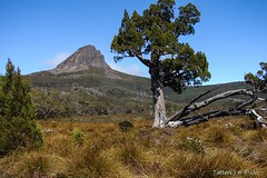 Barn Bluff mount and Pencil pine (Tatters ) Tags: day2 tree flora hiking mount tasmania cupressaceae conifer overland lightroom wordheritage taxodiaceae theoverlandtrack pencilpine athrotaxis athrotaxiscupressoides tasmanianflora