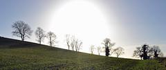 ash trees in winter sun (conall..) Tags: county winter field silhouette bare boxingday down ashtree ash kilmore fraxinusexcelsior