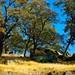 Diablo Hillside Grove