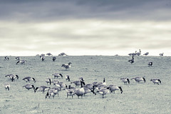 Grazing Geese (Vinny Burns) Tags: england landscape eos unitedkingdom moira canadageese mkiii 2013 hickslodge 5dmkiii 5dmk3 5d3 5dmarkiii ef70200mmf28lisusmmk2
