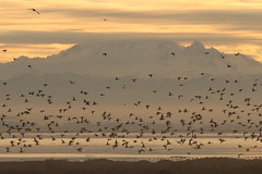 Boundary Bay IBA Ducks In Front Of Mt. Baker (Dennis J. Nelson) Tags: beautiful spectacular dawn bay mt baker top 200 wa boundary at