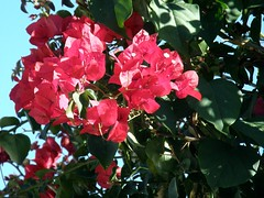 #3637 lesser bougainvillea (ブーゲンビリア) (Nemo's great uncle) Tags: ca usa flower paper flora bougainvillea socal southerncalifornia 花 palmdesert paperflower glabra ブーゲンビリア bougainvilleaglabra イカダカズラ 筏葛