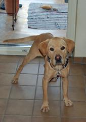 Sam ist da!! (18.01.2014) (Gnter Hentschel) Tags: dog germany deutschland nikon lab europa labrador sam marion hund labby badenwrtenberg labbi nikond40