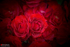 Blessing of Roses (Masahiko Futami) Tags: pink red plant flower color macro cute nature water rose japan canon waterdrop asia soft kawaii  dreamy            eos5dmarkiii