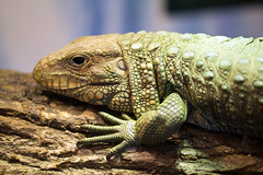"Cool Giant Lizard • <a style=""font-size:0.8em;"" href=""http://www.flickr.com/photos/30765416@N06/12160825656/"" target=""_blank"">View on Flickr</a>"