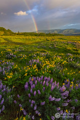 Rainbow Over Rowena (Dan Sherman) Tags: flowers sky yellow clouds oregon rainbow purple unitedstates wildflowers columbiagorge hoodriver lupine columbiarivergorge rowena balsamroot mosier