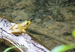 "Green frog • <a style=""font-size:0.8em;"" href=""http://www.flickr.com/photos/92887964@N02/14219906212/"" target=""_blank"">View on Flickr</a>"