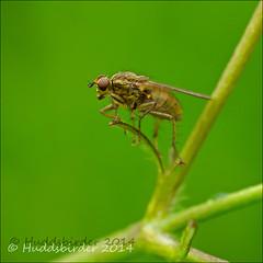Yellow Dung Fly (Huddsbirder) Tags: work fly panasonic g6 250 mega dcr ois vario 45200f4056 ratnox
