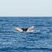 Gemini Whale Watch  Kaanapali Beach
