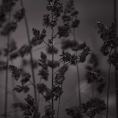 mystery (niman) Tags: white black green field june juni mystery dark feld schwarz dunkel mysterium dster