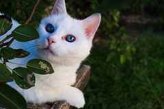 regard de chat (mickeynounet) Tags: portrait cat chat yeux bleu blanc feuille regard