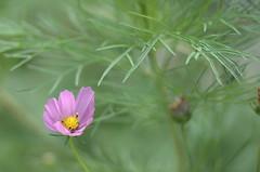 (ototadana) Tags: flower japan chiba cosmos ichikawa
