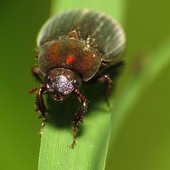 Scarab Beetle (treegrow) Tags: macro nature insect washingtondc rockcreekpark arthropoda coleoptera scarabaeidae lifeonearth raynoxdcr250 canonspeedlite430exii canonpowershotsx40hs