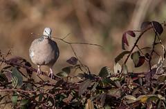 spotted turtle-dove-6033 (rawshorty) Tags: birds australia canberra act jerrabomberrawetlands rawshorty