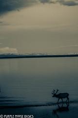 Elk In Heaven (Purple Moose Basics) Tags: yellowstone nationalparks yellowstonesummer