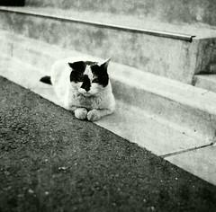 black & white (Shoji Kawabata. a.k.a. strange_ojisan) Tags: street cats white black 120 film animal japan cat photography grey iso100 tokyo photo lomo lomography streetphotography lubitel   100  166  filmphotography   eary
