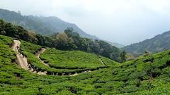 India - Kerala - Munnar - Tea Plantation - 106 (asienman) Tags: india mountains kerala hills teafactory teaplantation munnar teapicker asienmanphotography teaplantagens
