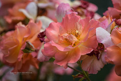 Roses (andriana andreeva photography) Tags: pink orange plant rose flora blooming