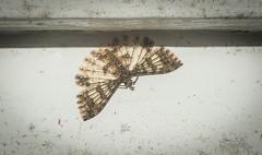 Alucita phricodes (dustaway) Tags: arthropoda insecta lepidoptera alucitidae alucitaphricodes australianinsects australianmoths manyplumedmoth lismore northernrivers nsw nature australia
