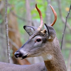 White-tailed Deer (Spike Buck) (magicnature) Tags: whitetailed deer spike buck