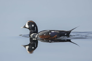 Harlequin Duck - Resurfacing after a long dive