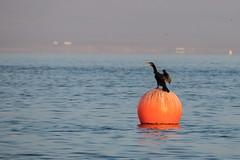 Black cormorant over buoy (fabioresti) Tags: blackcormorant cormoranonero paracas boa buoy per isoleballestas ballestasislands baia bahia canoneos80d 55250