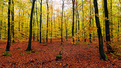 Autumn forest (radimersky) Tags: landscape krajobraz day dzie las forest wald clours colory autumn jesie jesienne podzim licie leafs drzewa trees polska poland europa europe panasonic lumix dmclx100 micro four thirds 43 panorama 3840x2160 broadleaved broadleaf red yellow ty czerwony outdoor serene tree fall przyroda nature