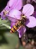 IMG_9029.jpg (TonyJ 3006) Tags: episyrphusbalteatus hoverflies