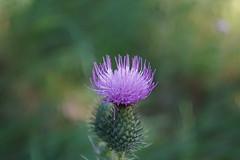 Natura (NickDack) Tags: nature flowers fiore fioritura