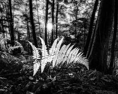 After the Rain-monochrome (crmanski) Tags: crescentlake landscape southingtonct fern forest