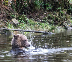 gotta find something in here !!! (wesleybarr1962) Tags: grizzly grizzlybear