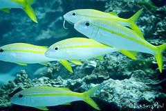DSC03372-5.jpg (chasingphil) Tags: diving southeastasia similanislands thailand