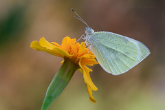 <<o>> (Raffaella Coreggioli ( fioregiallo)) Tags: natura nikon naturalistica ncg macro pieris farfalle fotografia fioregiallo fiore fioregiallophoto
