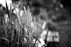 It's film (Leica M6) (stefankamert) Tags: stefankamert film analog leica m6 m rangefinder ilford fp4 grain korn dof bokeh voigtlnder nokton bw sw schwarzweis blackandwhite blackwhite plant leicam6